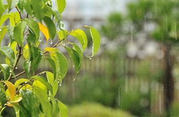雨の中の庭先の木