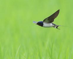 草原を飛ぶつばめ