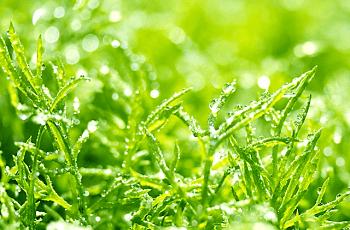 草に付いた白く光る露