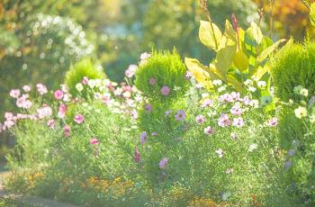 コスモスなどの植物