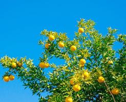 橘の木と黄色い実