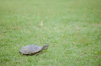 芝生の上の亀