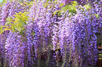 藤棚の藤の花