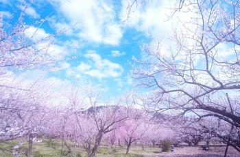 桜の木と山々
