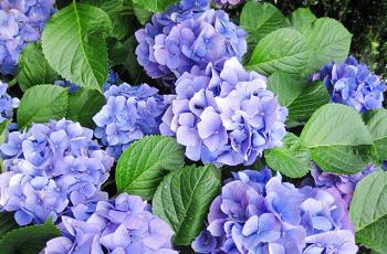 青い紫陽花の花