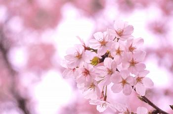 楚々とした桜の花