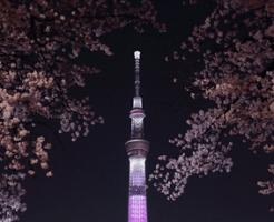 東京スカイツリーと桜の夜景