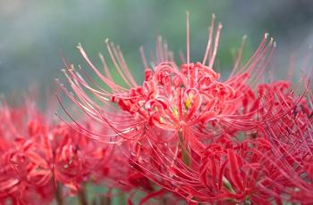曼珠沙華の花