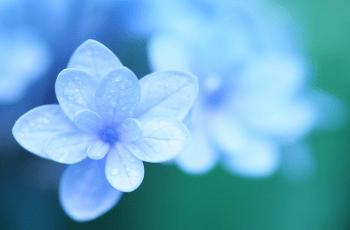 紫陽花の花