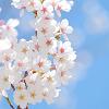 白い桜の花と青空