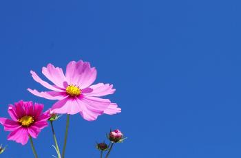 青空とコスモスの花