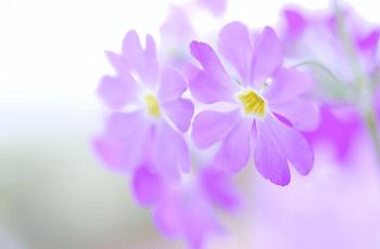 紫色の桜草の花