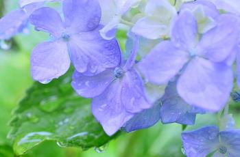 雨に濡れる紫陽花の花