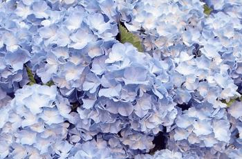 色が褪せた紫陽花の花