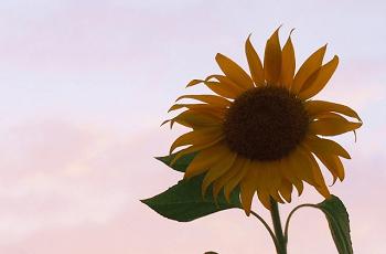 向日葵と夕方の空