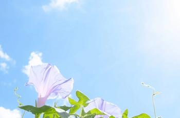 朝顔の花と青空