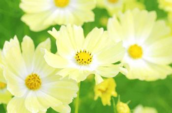 薄い黄色のコスモスの花
