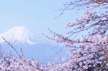 富士山と桜の花