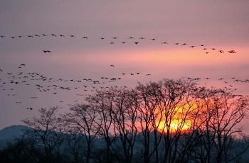 夕暮れに飛ぶ雁の群れ