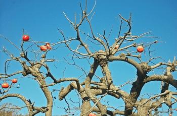 冬の青空と柿の木