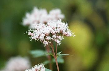 白い藤袴の花