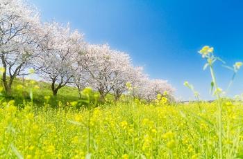 桜と菜の花と青空