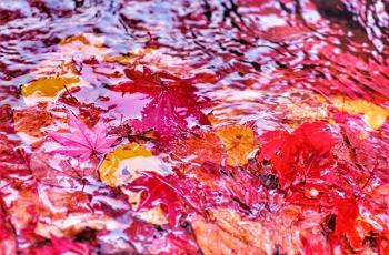 水に流される紅葉