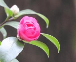 ピンク色の山茶花の花