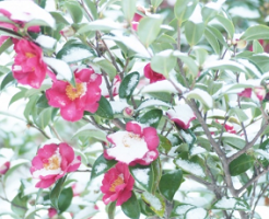 山茶花の花に積もった雪