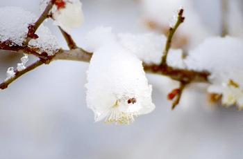 白い梅の花に積もった雪
