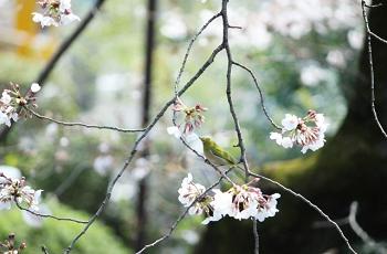 桜の枝にとまる鶯