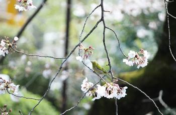 梅の蕾を見つめる鶯