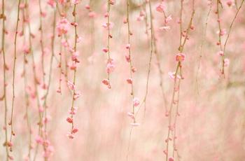 美しい枝垂れ梅の花