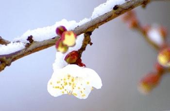 白梅の花と雪