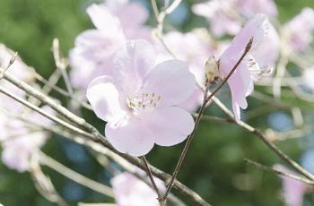 薄桃色の躑躅の花