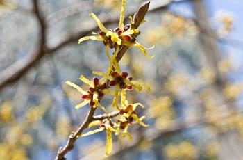 金縷梅の花