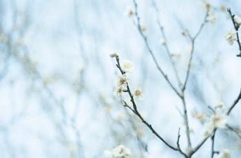 白梅と水色の空