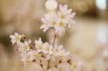 儚げな白い梅の花