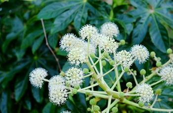 八つ手の白い花