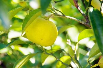 春先に実がなった蜜柑