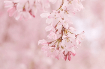 ピンク色の枝垂れ桜の花