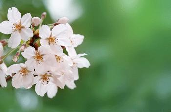 白い桜の花と蕾