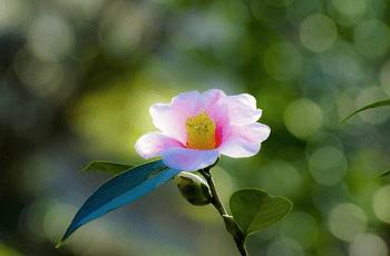 ピンク色の椿の花