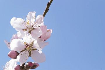 白い桃の花と青空