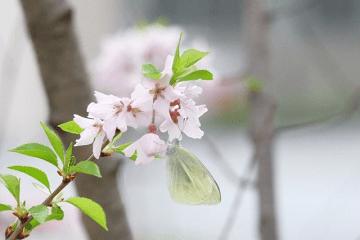 白い桜の花にとまったモンシロチョウ