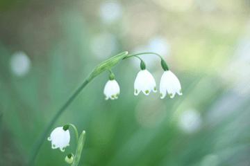 白い鈴蘭水仙の花