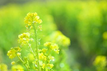 与謝 蕪村 菜の花 や