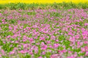 一面に広がる蓮華草と菜の花