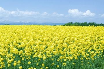 菜の花畑と春の空
