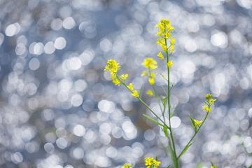 春の日射しの中の菜の花